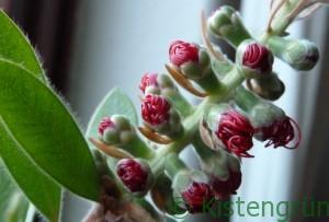 Die Knospen der Metrosideros excelsa öffnen sich. Die Pflanze ist vor allem in Neuseeland verbreitet und blüht dort um die Weihnachstzeit.