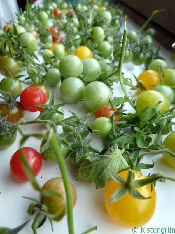 TomatenFensterbank_kistengruen