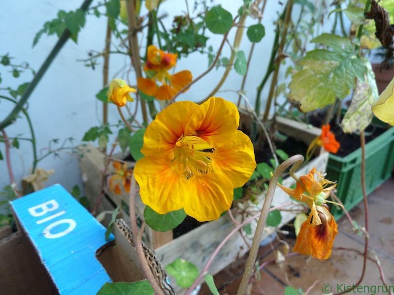 Blühende Kapuzinerkresse im November