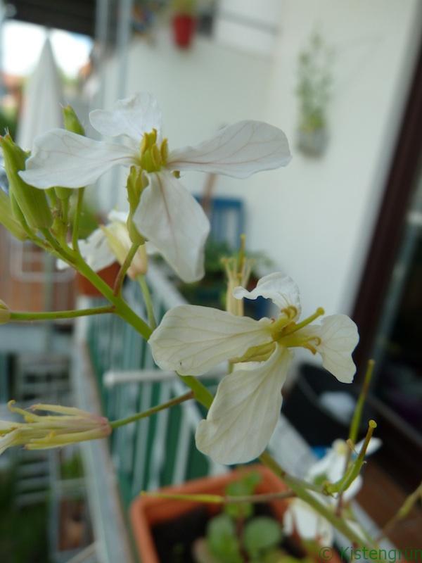 Radieschen blühen auch sehr schön...