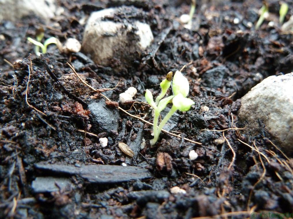 Wer Salat dicht sät, sollte die Keimlinge ausdünnen. Dann haben die anderen Pflanzen genug Platz zu wachsen.