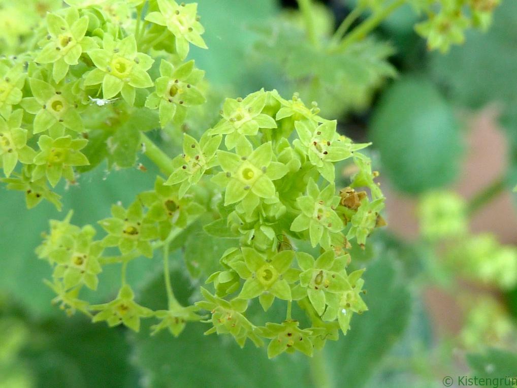 Unscheinbar in Grün, aber wunderschön: die Blüte des Frauenmantels.