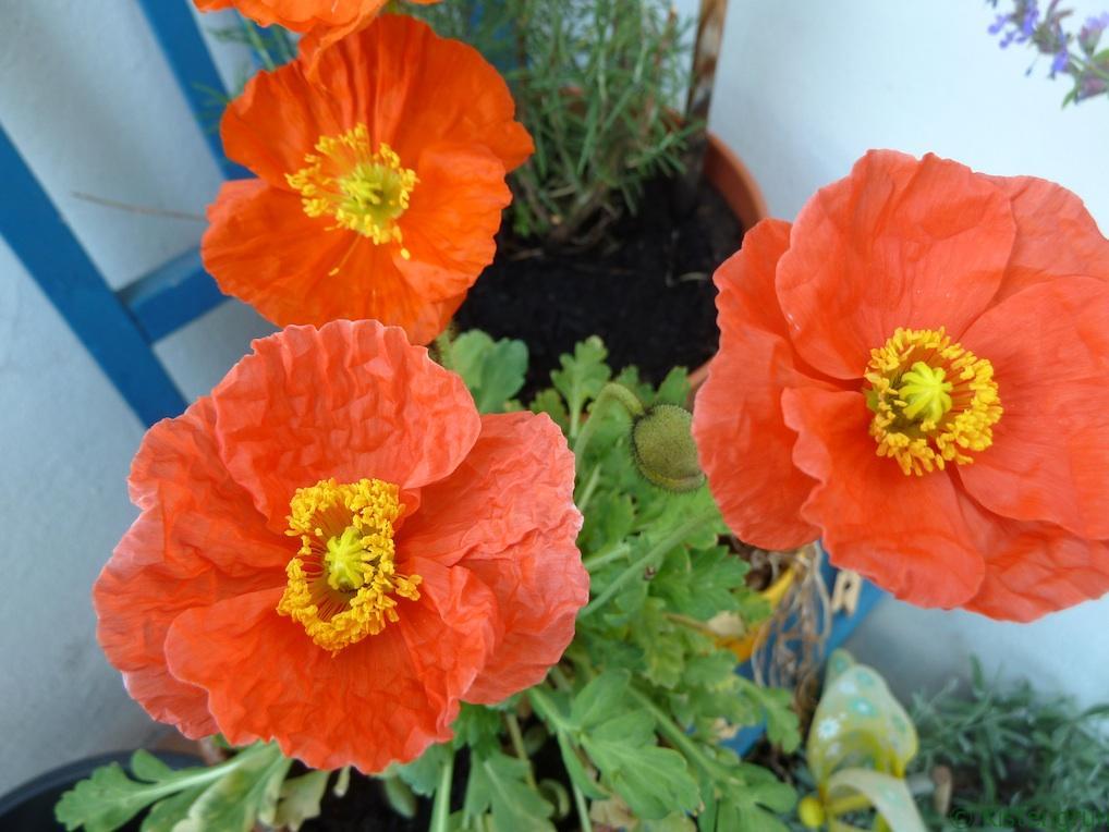 Sorgt bei mit immer für gute Laune. die orangenen Blüten des Islandmohn.