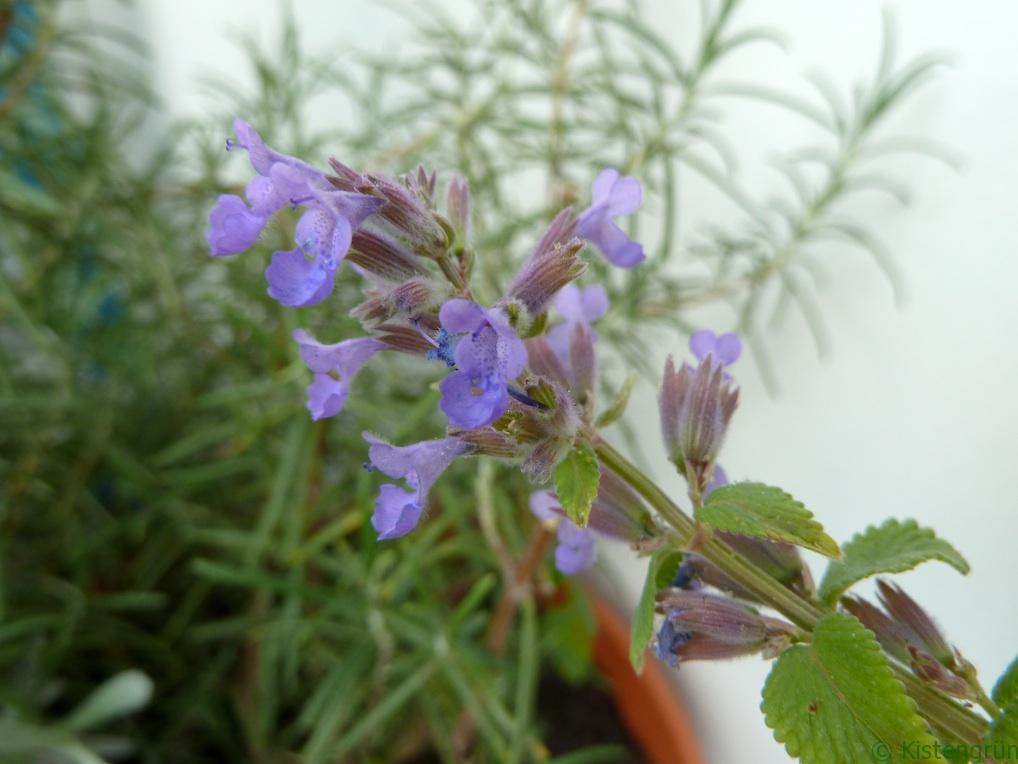 Hummel lieben sie: die violetten Blüten der Katzenminze.