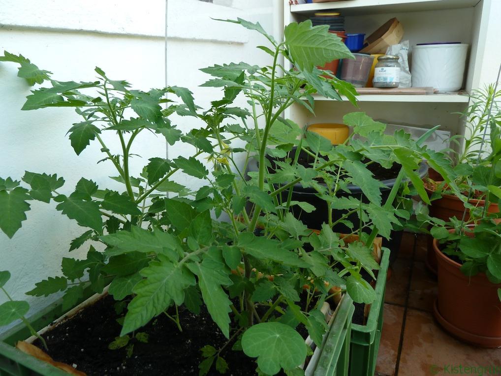 Meine Tomatenpflanzen sind noch viel zu klein.