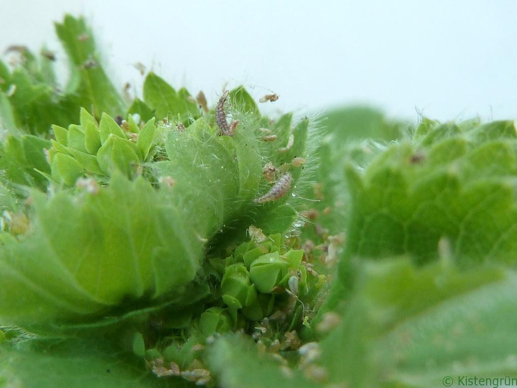 Die Larven der Florfliegen haben Blattläuse zum Fressen gern.