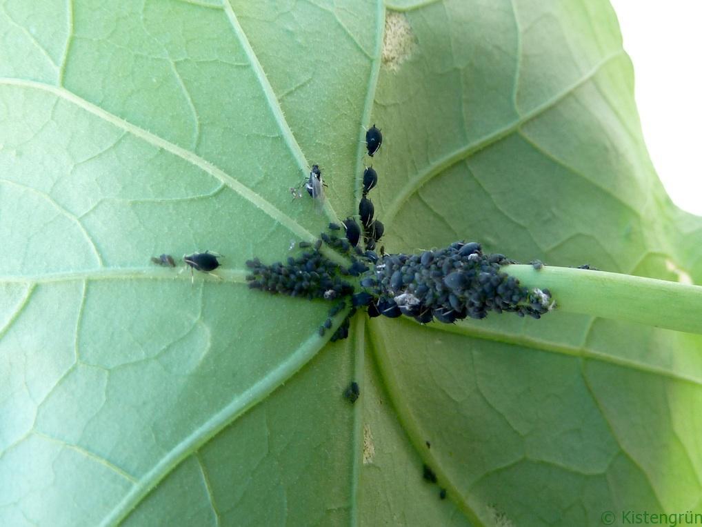 Dieses Blatt muss weg: Blattläuse haben die Kapuzinerkresse gekapert.
