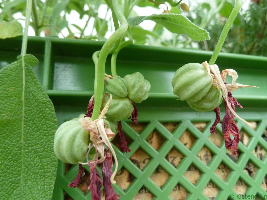 Kapuzinerkresse Samen sammeln