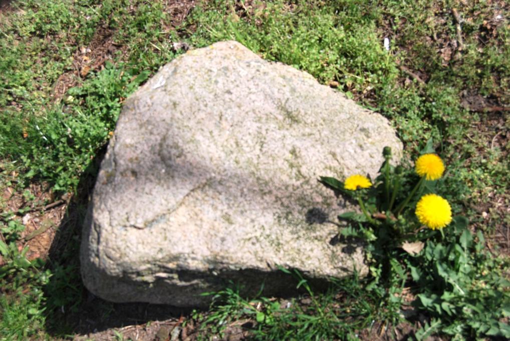 Löwenzahn am Stein. Foto: Sabine