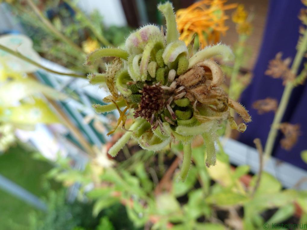 Ringelblume Samen ernten